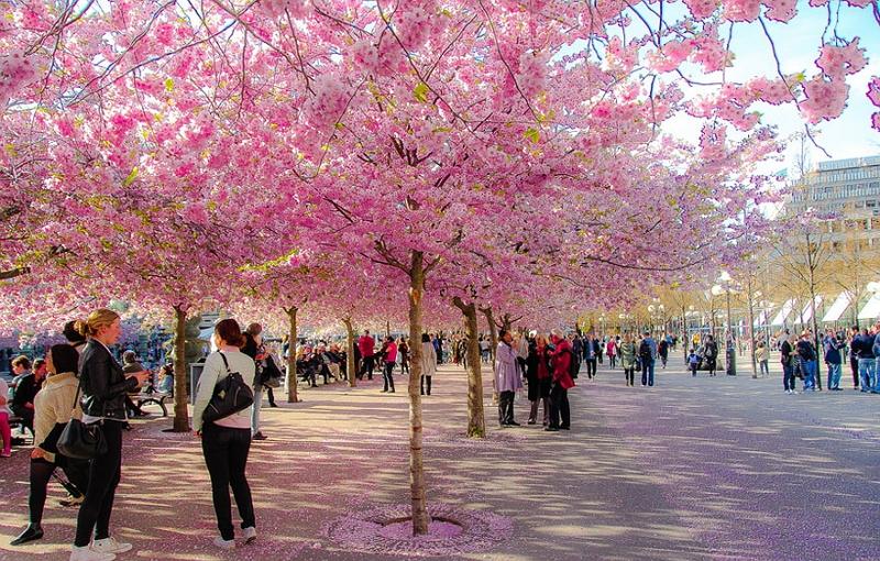 Праздник цветения сакуры 1