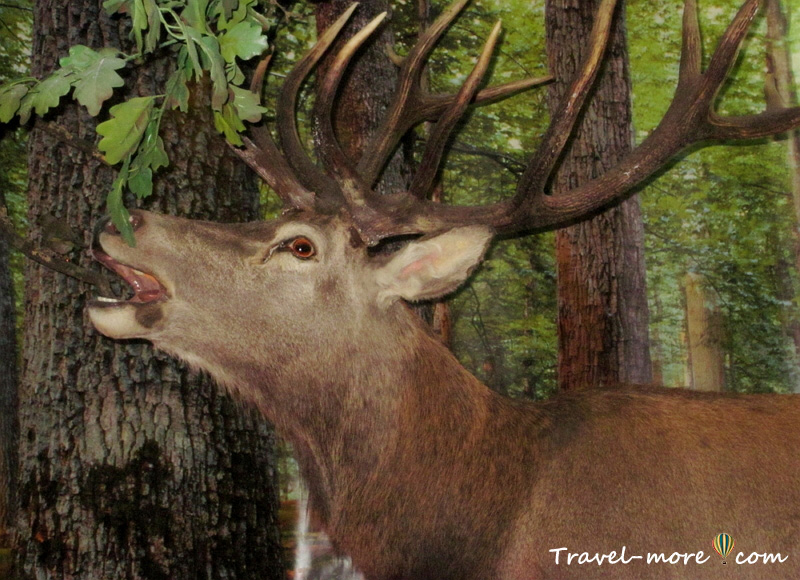 Благородный олень Музей природы Беловежская Пуща