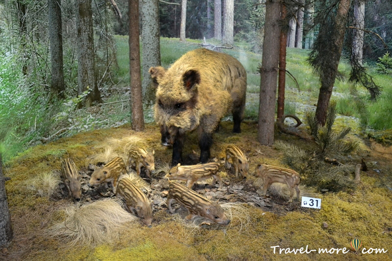 Кабаны Музей природы Беловежская Пуща