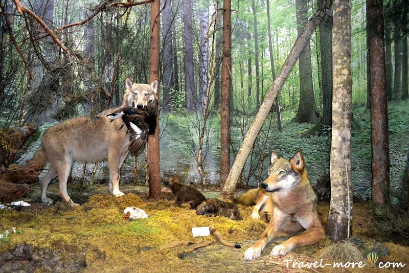 Волки Музей природы Беловежская Пуща