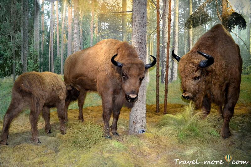Зубры Музей природы Беловежская Пуща