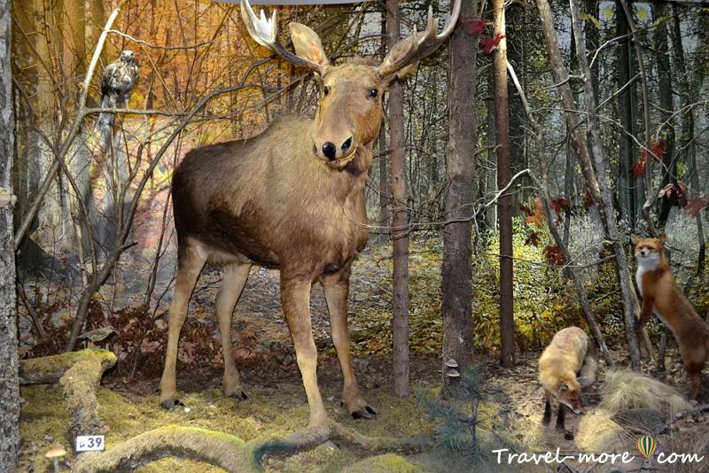Лось Музей природы Беловежская Пуща