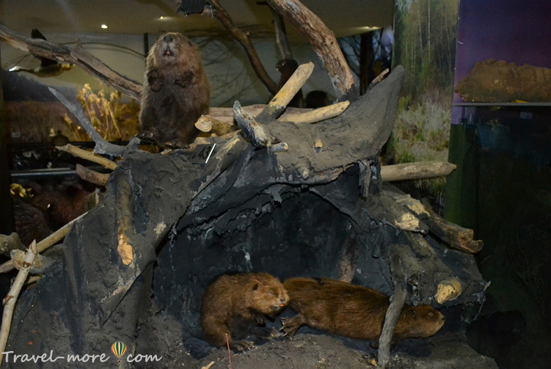 Бобры Музей природы Беловежская Пуща