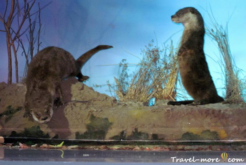 Выдры Музей природы Беловежская Пуща