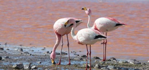 Фламинго в Торревьехе